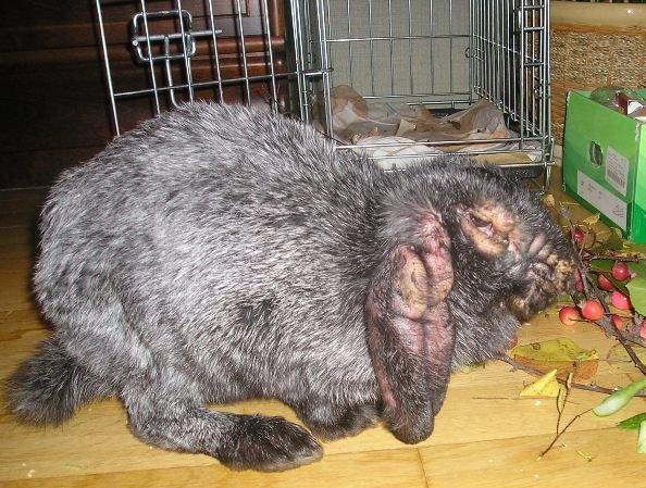 Миксомитоз у кролика