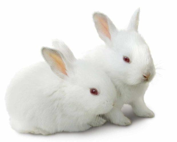 Британский польский белый кролик