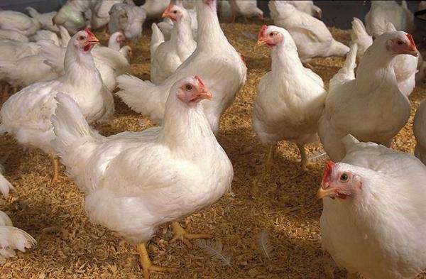 Бройлерные цыплята растут бытсро