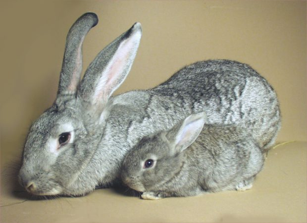 Гигантская шиншила - самка и крольчонок