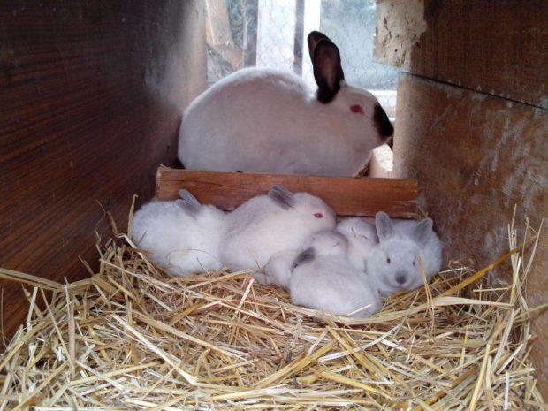 Гнездо, самка и крольчата калифорнийцы