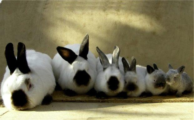 Кролики Калифорнийской породы разного возраста