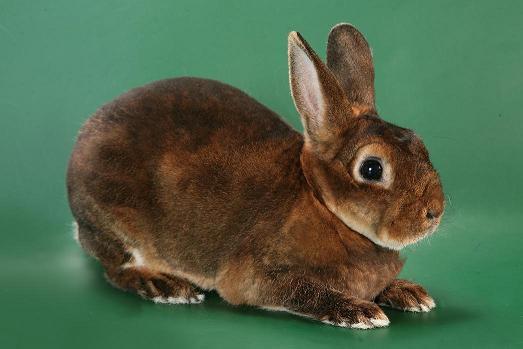 Кролик карликовый рекс, цвет бобер