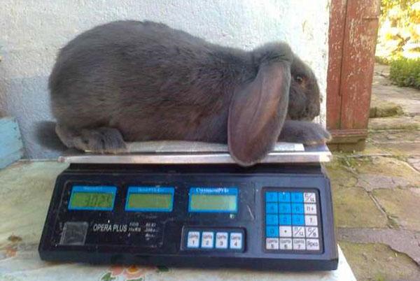 Кролик Французский баран в 2 месяца
