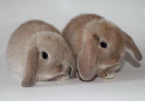 Кролики карликовые бараны