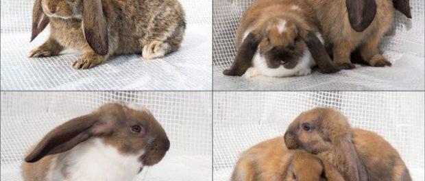 Разные подвиды кроликов баранов