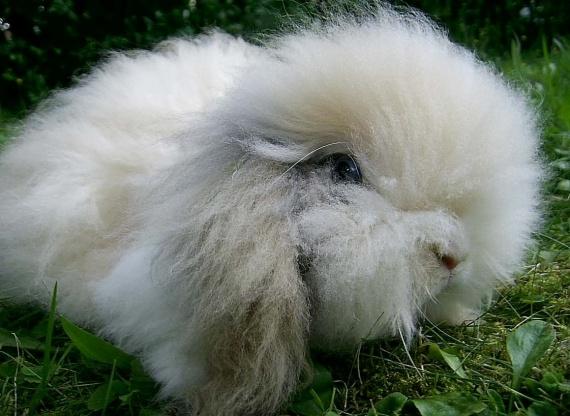 Кролик баран ангорского типа