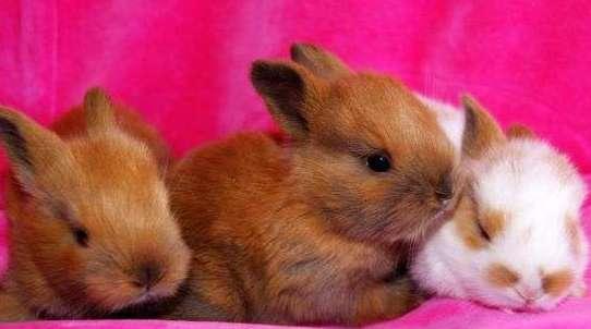 Кролики карликовые лисички