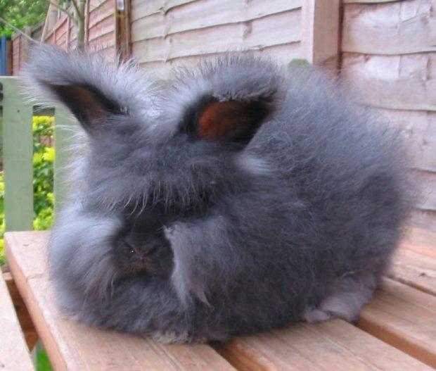 Кролик львиноголовая ангорка голубой