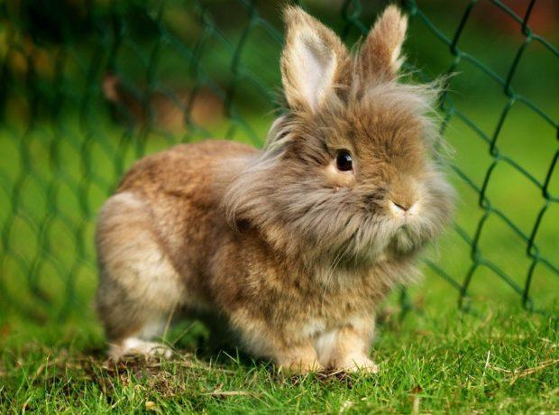 Кролик львиноголовый карлик черепахового окраса