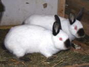 Кролики калифорнийской породы бывают с голубыми и красными глазами