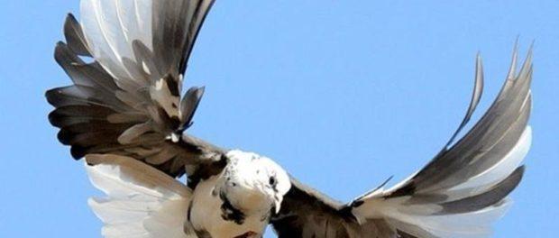 Николаевская бабочка - голубь удивительной красоты