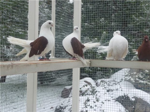 Николаевские голуби, вид мартыновые