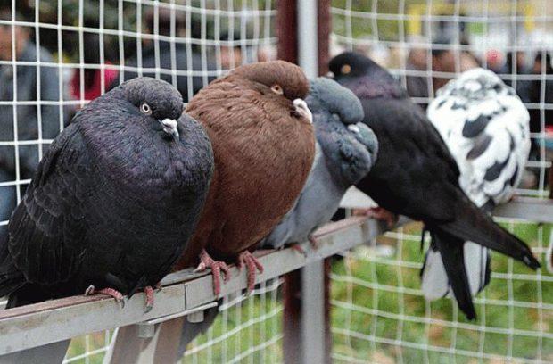 Одноцветные и рябой николаевские голуба