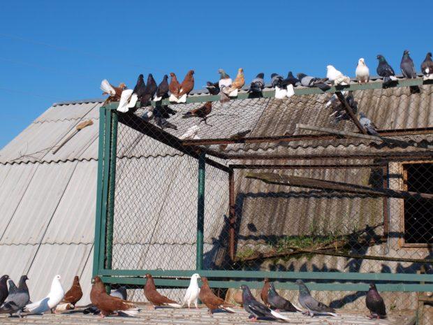 Вольерное содержание голубей