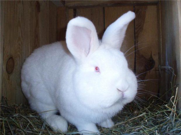 Новозеладский белый кролик