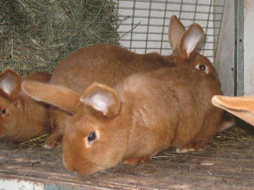 2-месячные кролики красного подвида