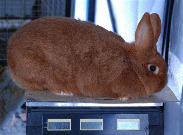 Вес бройлерных новозеландских кроликов