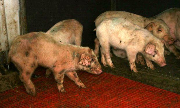 Больные пастерелезом свинки