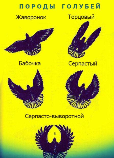Типы пород голубей по профилю