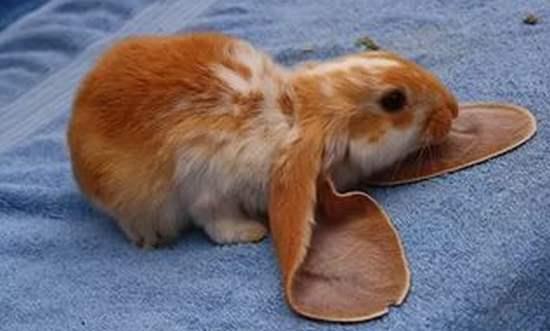 Ушки у кролика английский баранчик