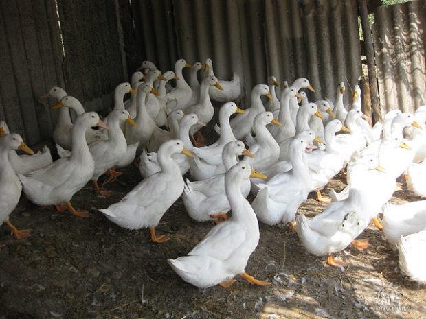 Утки Агидель - новый скороспелый кросс
