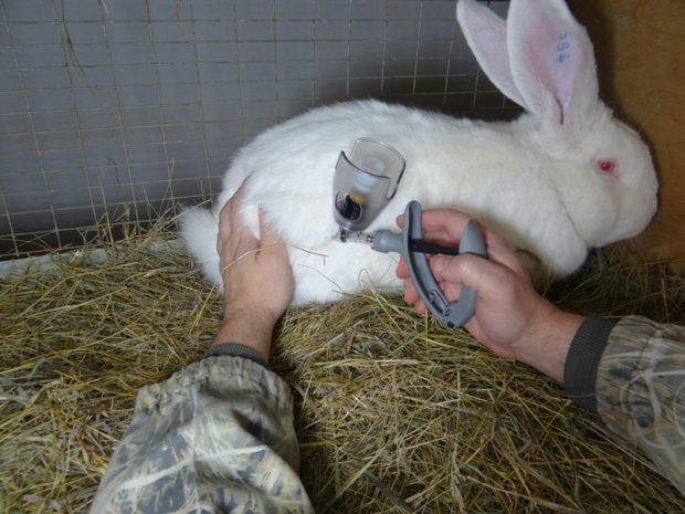 Вакцинация кролей - защита от болезней