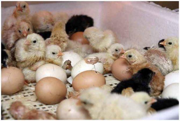 Вылупливание цыплят в инкубаторе Идеальная наседка