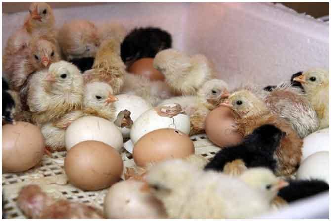 Как выводить цыплят в домашних условиях видео