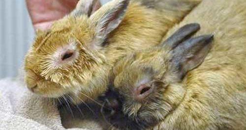 Заболевшие кролики. Миксотоматоз