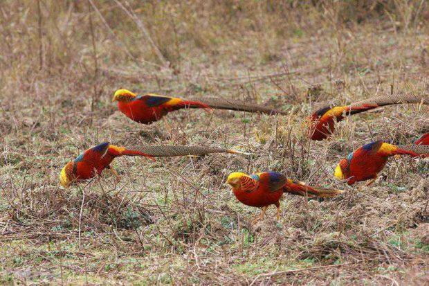 На золотых фазанов охотиться не надо