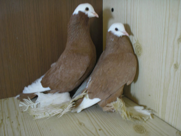 Армавирские бойные голуби