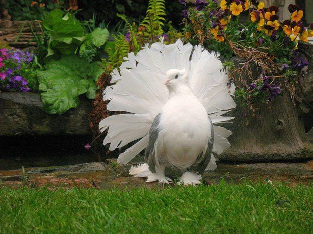 Белый павлиний голубь имеет пышный хвост