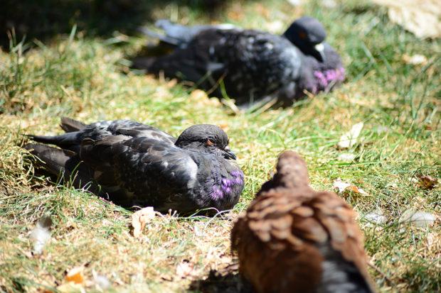 Больные орнитозом голуби