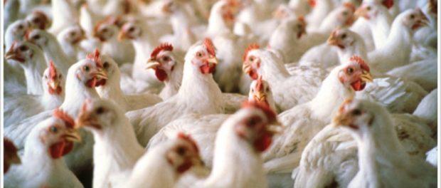 Бройлерные цыплята - выгодный бизнес