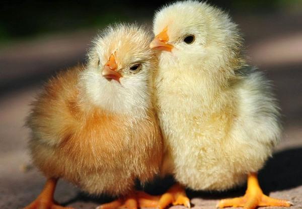 Цыплята бройлеры должны быть активными