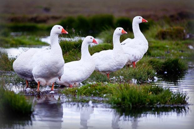 Дикие белые гуси пасутся