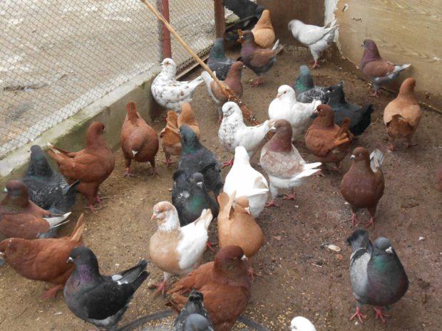 Разведение мясных голубей - выгодный бизнес