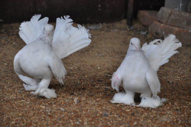 Статные ростовские голуби