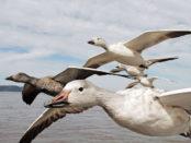 Гуси летят - завораживающее зрелище