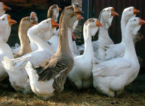 Холмогорские гуси - самая крупная порода