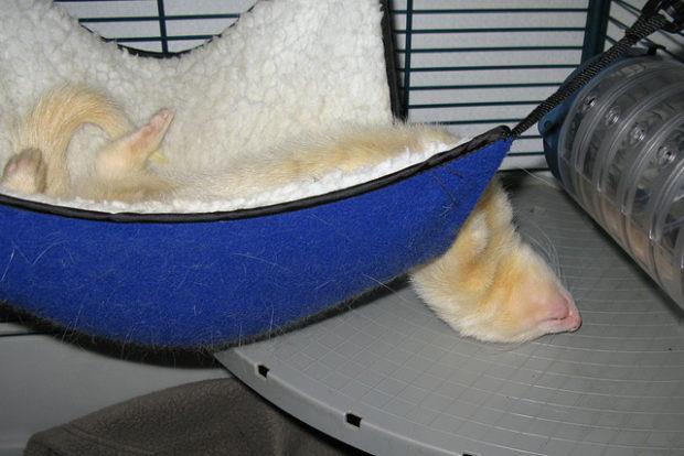 Хорек спит в гамаке в клетке