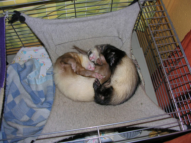 Хорьки в гамаке любят спать