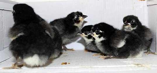 Испанская белолицая порода - цыплята