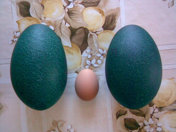 Яйцо эму и курицы - сравнение