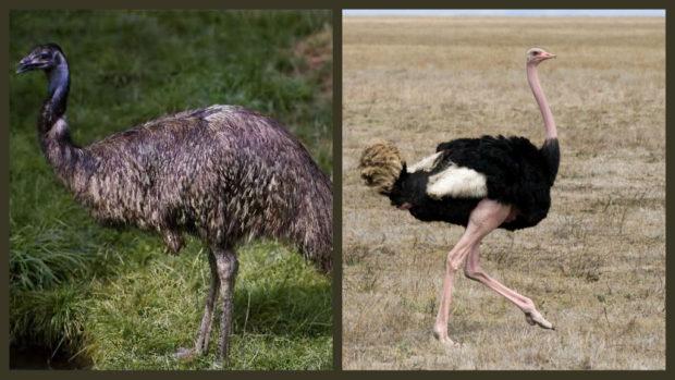 Эму и африканский страус - сравнение