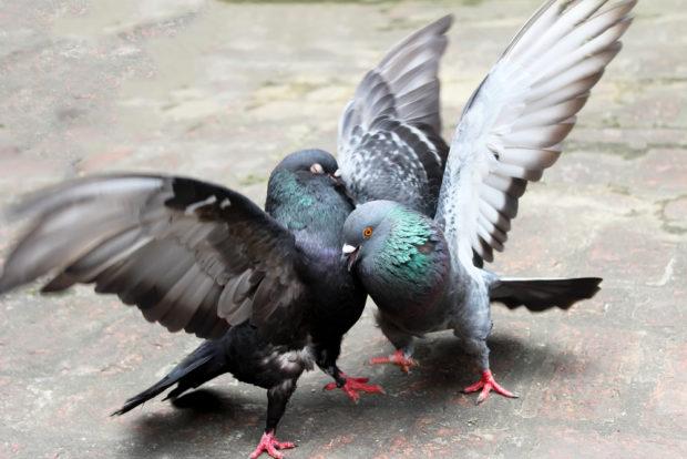 Брачный период у голубей