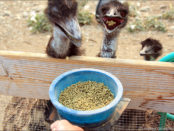 Комбикорм для страусов - основа интенсивного откорма