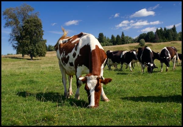 Свежая трава - основа рациона коров большую часть года