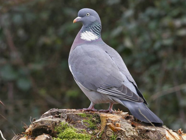 Лесной голубь - вяхирь